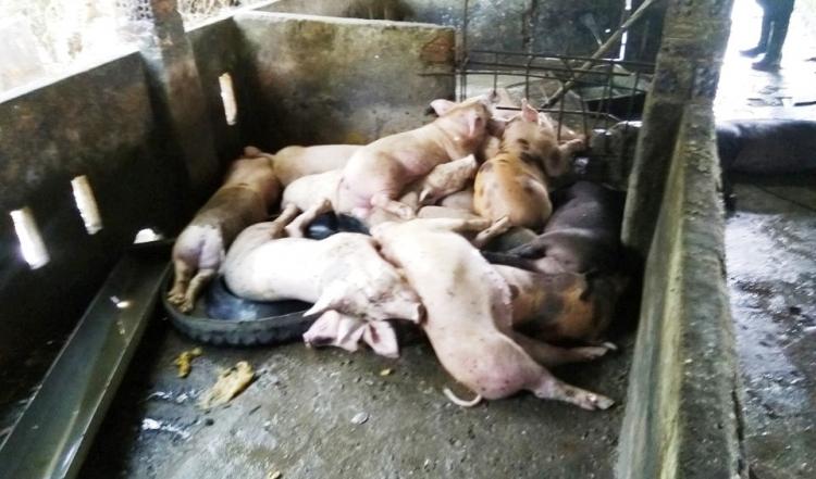Đà Nẵng: Phát hiện ổ dịch tả lợn Châu Phi thứ 3 trên địa bàn