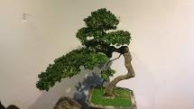 hoi an gioi thieu nhieu cay canh bonsai gia tri cao