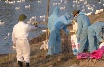 2 tháng, cả nước có 34 ổ dịch cúm gia cầm