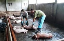 Dịch tả lợn châu Phi bùng phát mạnh ở Lào Cai