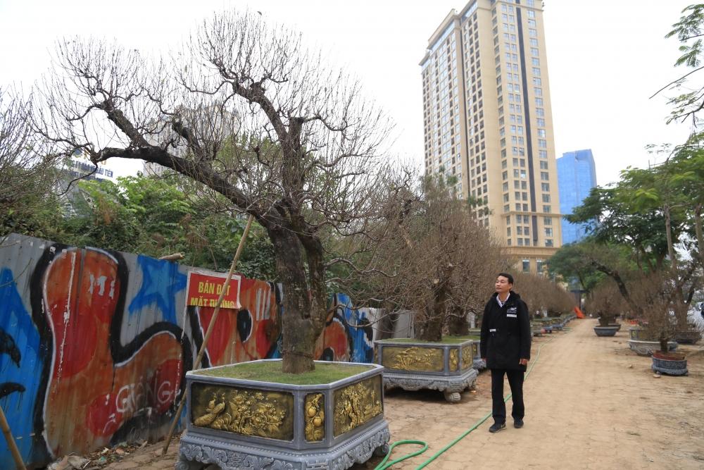 Ngắm gốc đào khủng đón Tết có giá hàng trăm triệu đồng