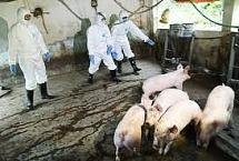 Nghi dịch tả lợn châu Phi xuất hiện tại Yên Bái