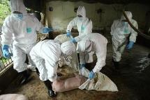 Yên Bái phát hiện ổ dịch tả lợn châu Phi mới