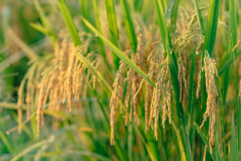 Nặng trĩu hạt lúa vàng giữa