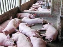 Yên Bái tiêu hủy gần 2.400 con lợn, nỗ lực dập dịch tả lợn châu Phi