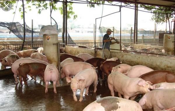 Tiếp tục xuất hiện ổ dịch tả lợn châu Phi ở Trấn Yên, Yên Bái