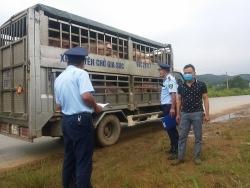 Yên Bái: Xử phạt 7 triệu đồng một lái xe chở lợn không qua kiểm dịch