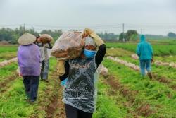 Nông dân Hải Dương hồ hởi ra đồng thu hoạch cà rốt sau dỡ bỏ phong tỏa