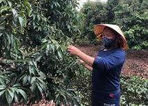 Nhật Bản chính thức mở cửa nhập khẩu vải thiều Việt Nam