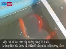Góc nhìn đúng về việc cá Koi chết sau khi thả ở sông Tô Lịch