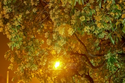 Mùa thu Hà Nội, mùa hoa sữa về thơm từng con gió