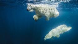 Lạ lùng cách gấu Bắc cực lặn tìm thức ăn