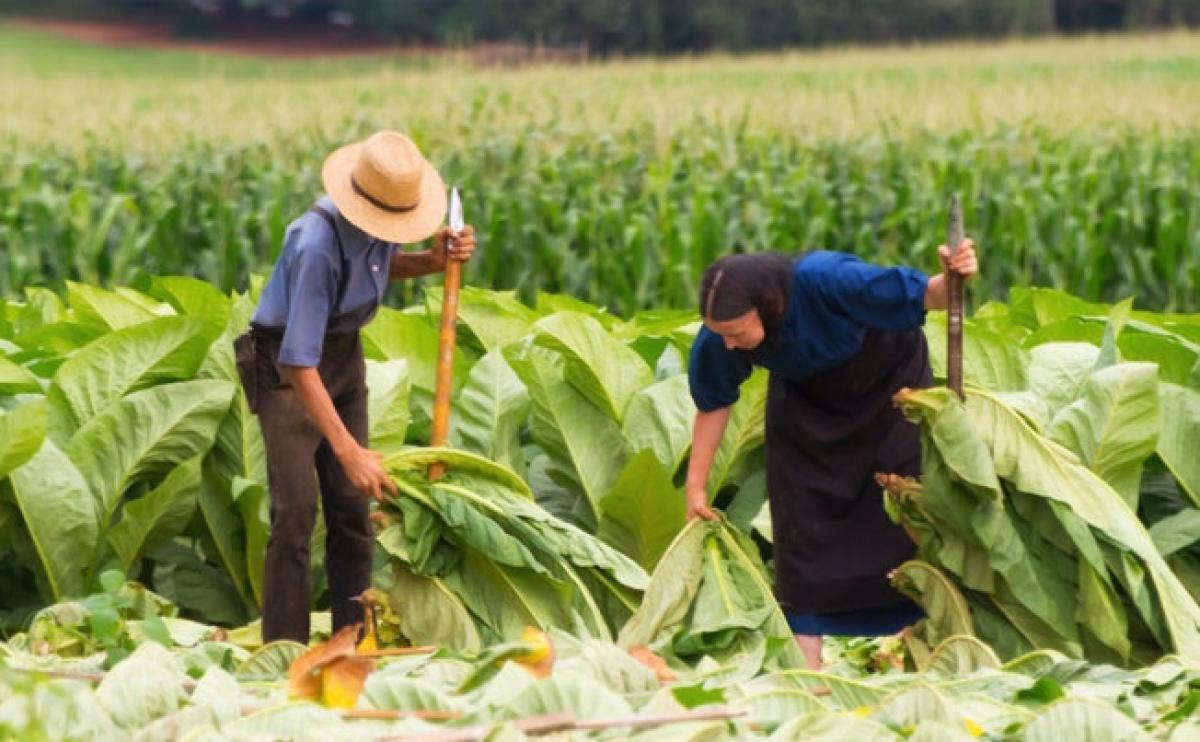 Nghề nông là công việc chủ yếu của người Amish. Ảnh: Usnews