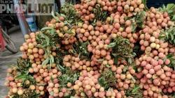 Hơn 40% sản lượng vải chín sớm của Lục Ngạn được xuất khẩu