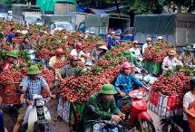 Lục Ngạn - Bắc Giang:Sẵn sàng chào đón tiểu thương đến thu mua vải thiều