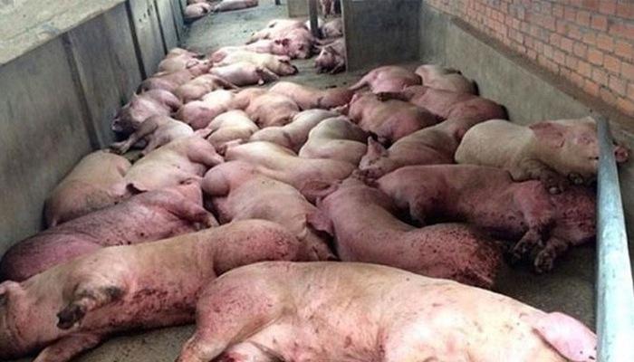 Chính phủ yêu cầu sớm chấm dứt lây lan dịch tả lợn châu Phi