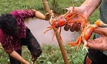 Nông dân dùng thuổng bắt cua đỏ ở Thanh Hóa