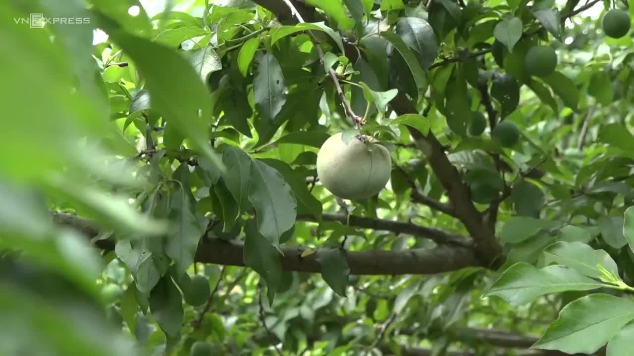 Mận Mộc Châu đầu mùa hơn 100 nghìn đồng mỗi kg