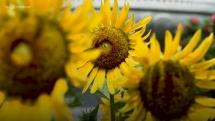 vuon hoa huong duong no ro trong cong vien lon nhat sai gon