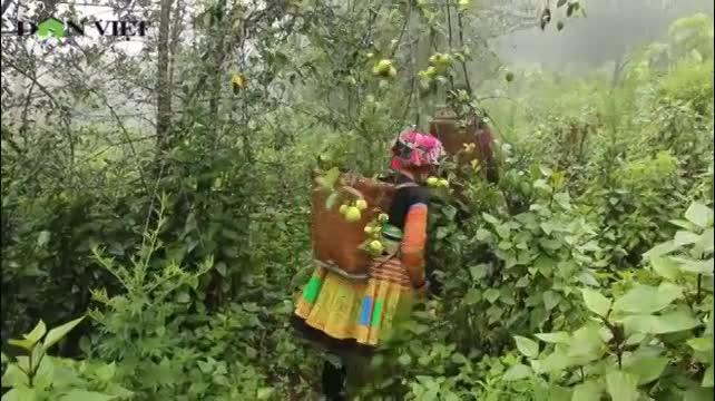 Tỷ phú vùng cao làm giàu từ cây táo Sơn Tra