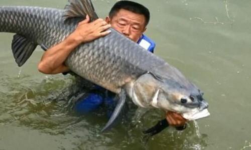 Cần thủ bị cá trắm 75kg kéo xuống hồ