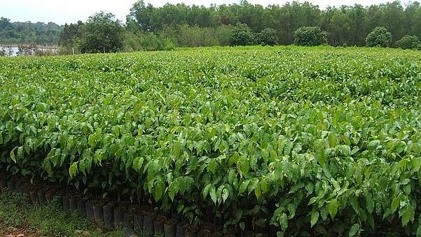 vườn ươm, cây giống trồng rừng. Ảnh: tư liệu