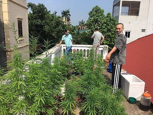 Vườn cần sa trên nóc nhà dân