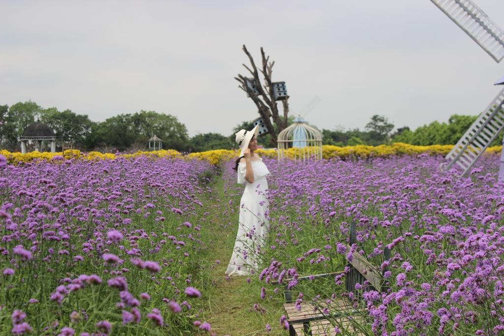 Tận hưởng thu Hà Nội giữa vườn hoa oải hương tím đẹp hút hồn