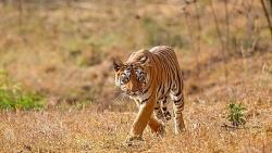 """Video: Hươu nhanh trí phát giác màn """"ngụy trang"""" của hổ và chạy thoát thân"""