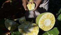 """Quả mít - """"Siêu thực phẩm"""" có tiềm năng lớn của Ấn Độ"""