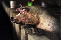 WHO thận trọng với chủng virus cúm lợn mới tại Trung Quốc