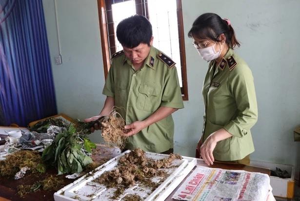 """Bắt vụ vận chuyển Sâm Ngọc Linh giả tại """"thủ phủ"""" Sâm thật"""