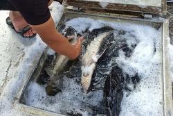 """Ban Chỉ đạo 389 quốc gia yêu cầu """"siết chặt"""" nhập khẩu cá tầm Trung Quốc"""
