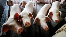 Doanh nghiệp bắt đầu hạ giá lợn hơi xuống 70.000 đồng/kg