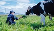 Vinamilk nắm 38,34% cổ phần công ty sở hữu Sữa Mộc Châu
