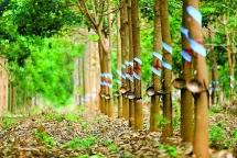 hagl agrico ban doanh nghiep cao su cho cong ty con cua thaco