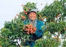 Chuyên gia Nhật đã sang Việt Nam giám sát xuất khẩu vải thiều