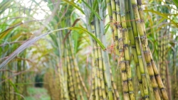 Việt Nam áp thuế chống trợ cấp, bán phá giá đường mía nhập khẩu từ Thái Lan