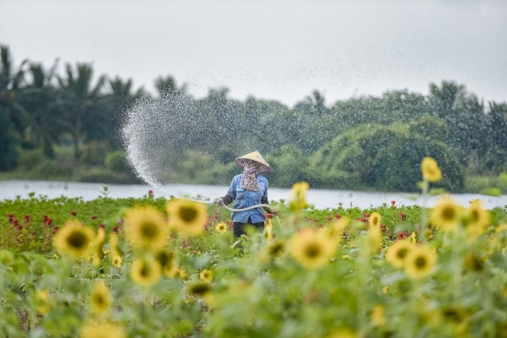 Ngắm cánh đồng hoa hướng dương rực rỡ khoe sắc tại Ecopark