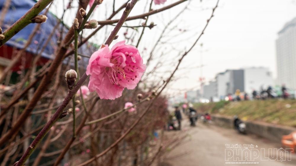 Đào Nhật Tân tràn ngập chợ hoa đón Tết Nguyên đán 2021