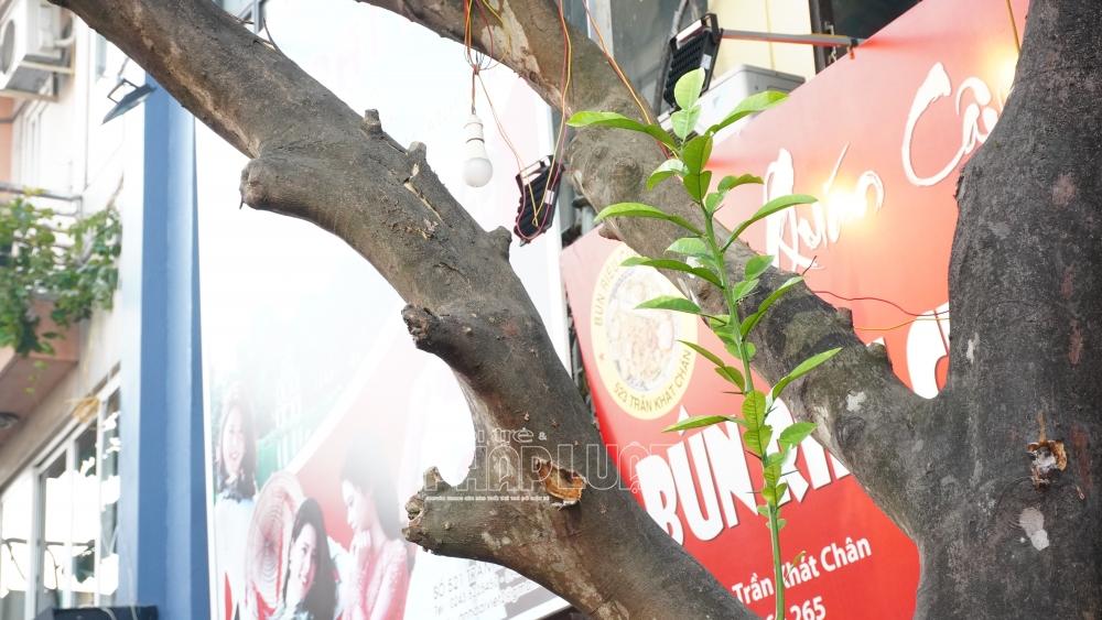 """Vụ cây bưởi """"mọc"""" ở Trần Khát Chân: Liệu có lỗ hổng trong quản lý cây xanh?"""