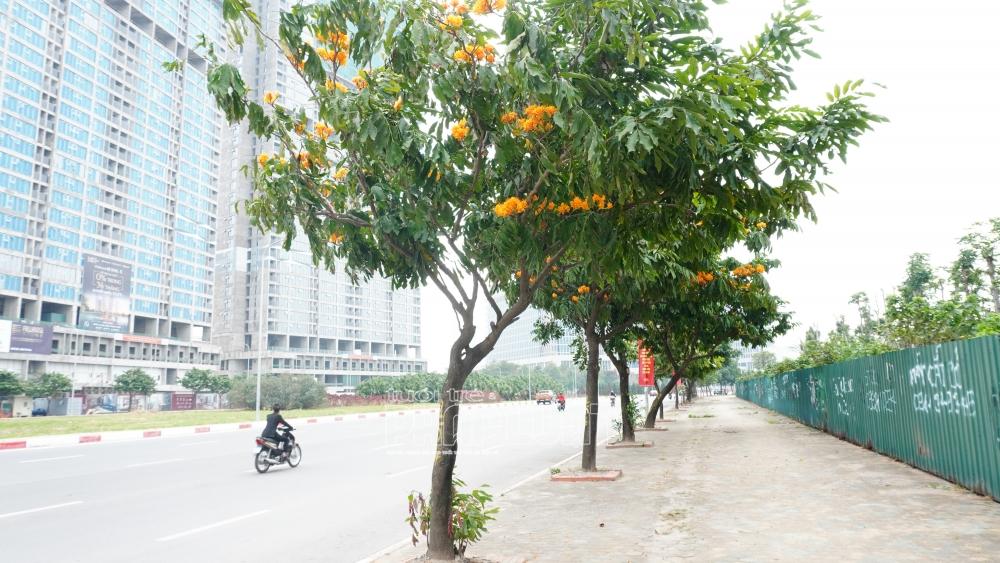 Hà Nội: Hoa vàng anh rực nở ngày đầu xuân