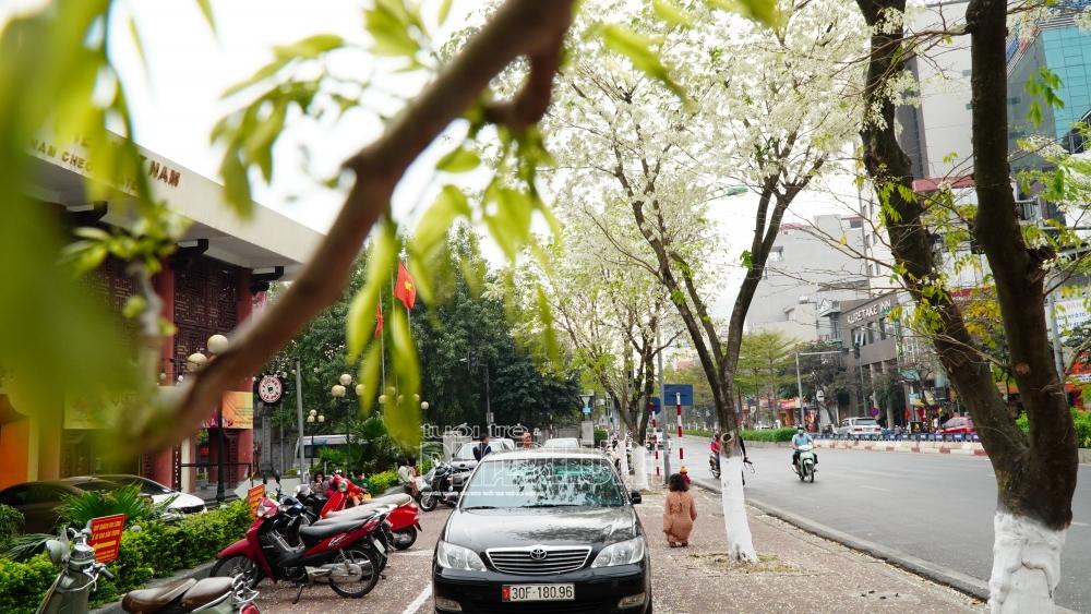Hà Nội: Xao lòng những cánh hoa sưa đầu mùa