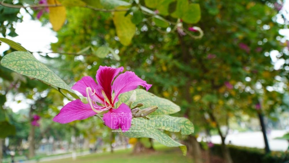 Hà Nội: Mùa đi ngang qua phố