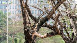 7 gốc sưa quý hiếm chết khô trên phố Nguyễn Văn Huyên