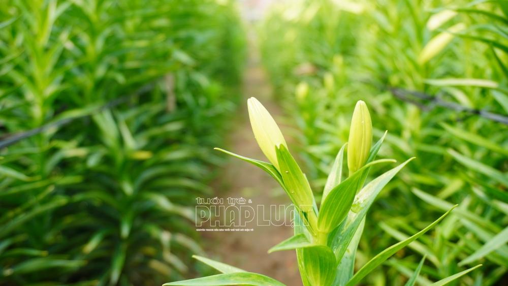 """Nông dân hối hả thu hoạch trong """"cơn sốt"""" hoa loa kèn"""