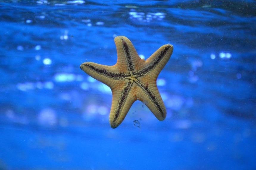 Sao biển thường chỉ sống được dưới 50 giây khi rời khỏi nước