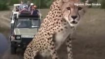 bao treo vao xe de chan len dau du khach trong cac safari hoang da