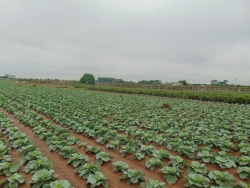 Hà Nội khuyến khích hình thành các vùng sản xuất nông nghiệp chuyên canh