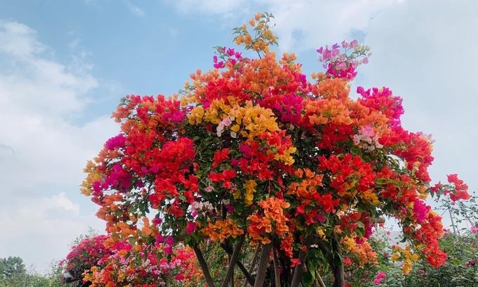 Hoa giấy ngũ sắc giá hơn 100 triệu mỗi cây